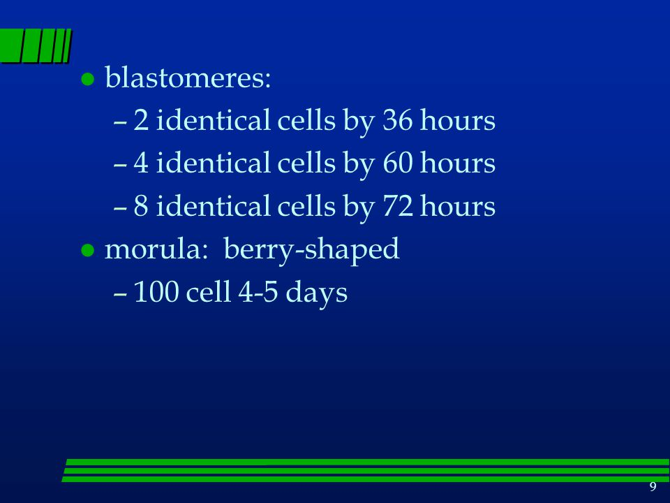blastomeres: 2 identical cells by 36 hours. 4 identical cells by 60 hours. 8 identical cells by 72 hours.