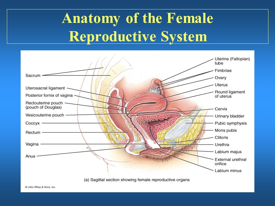 Anatomy of female reproductive
