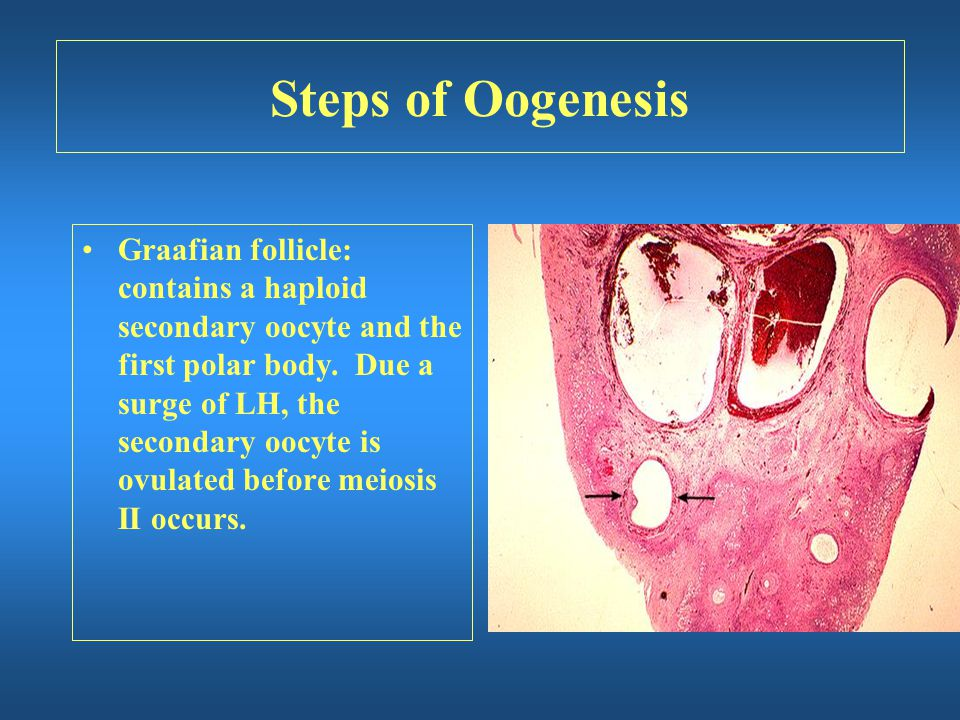 Steps of Oogenesis