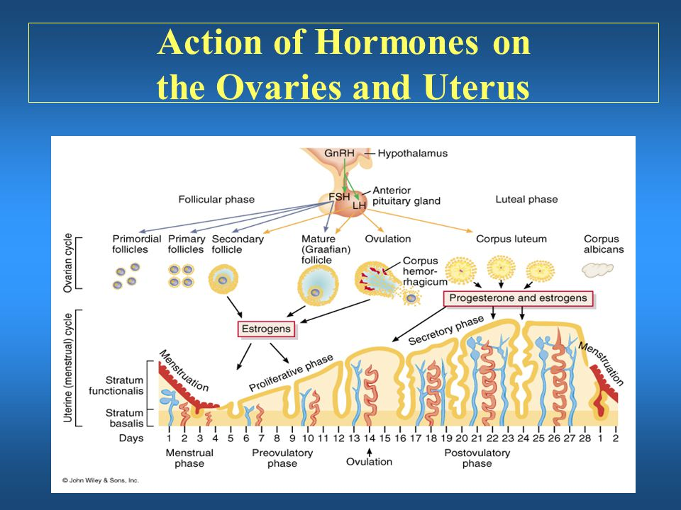 Action of Hormones on the Ovaries and Uterus