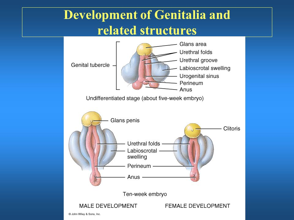 Development of Genitalia and related structures