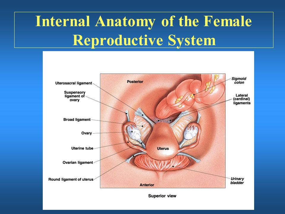 Internal Anatomy of the Female Reproductive System