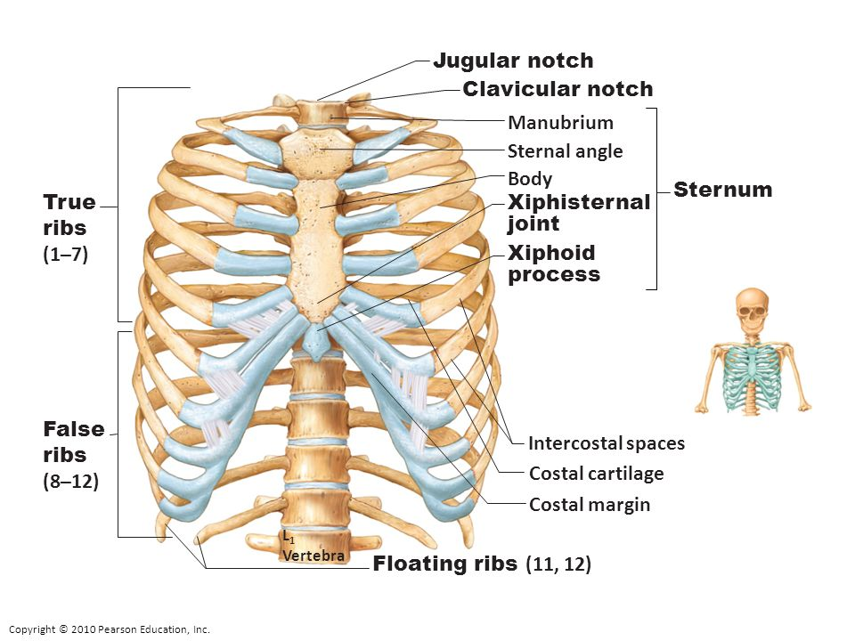 Jugular notch Clavicular notch Manubrium Sternal angle Body Sternum