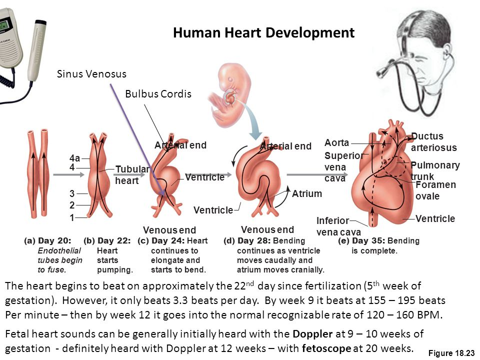 Human Heart Development