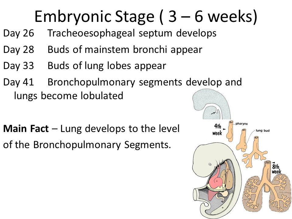 Embryonic Stage ( 3 – 6 weeks)