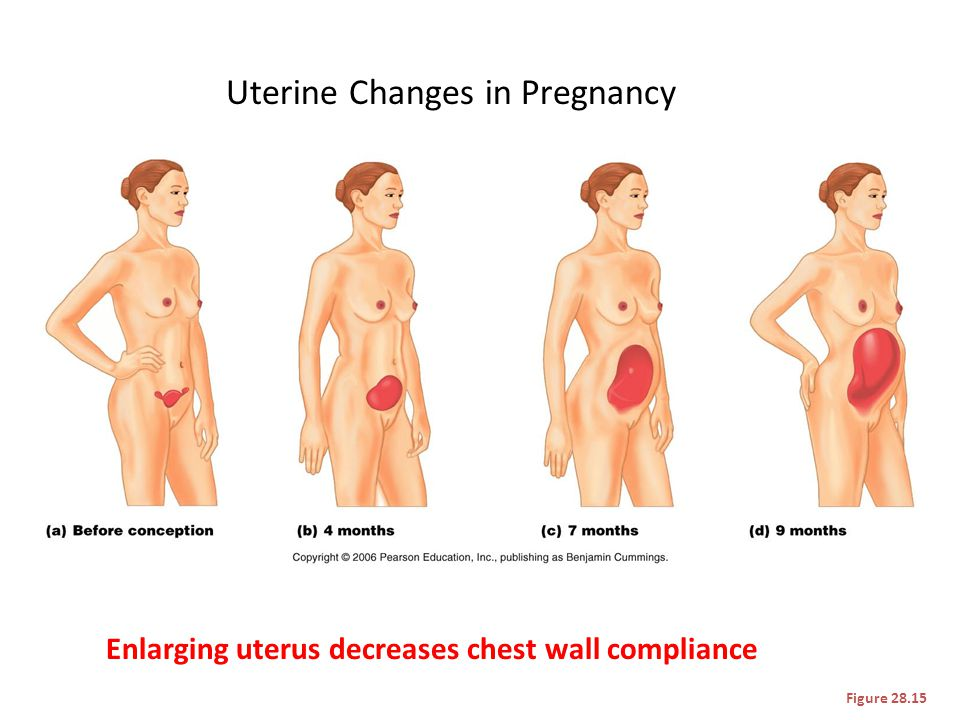 Uterine Changes in Pregnancy