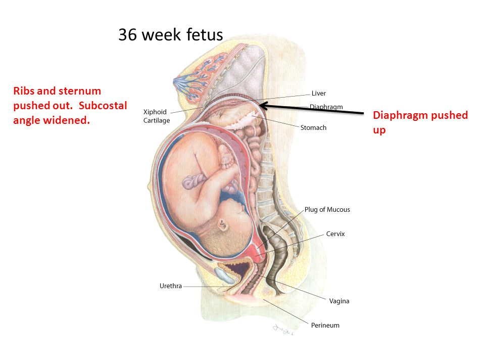 36 week fetus Ribs and sternum pushed out. Subcostal angle widened.
