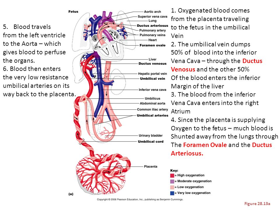 1. Oxygenated blood comes from the placenta traveling