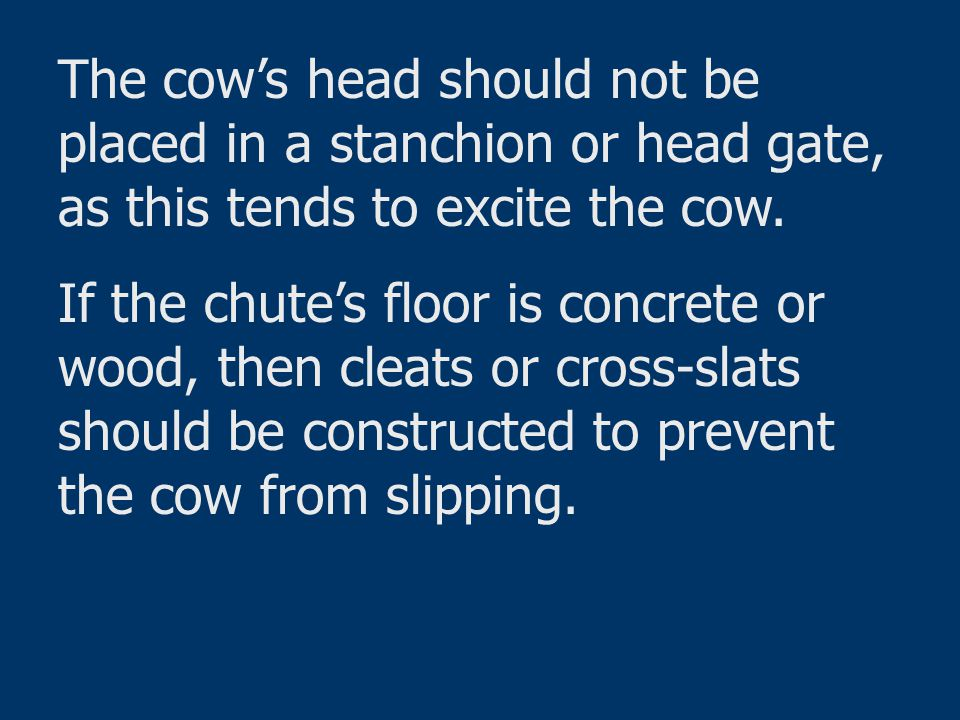 The cow's head should not be placed in a stanchion or head gate, as this tends to excite the cow.
