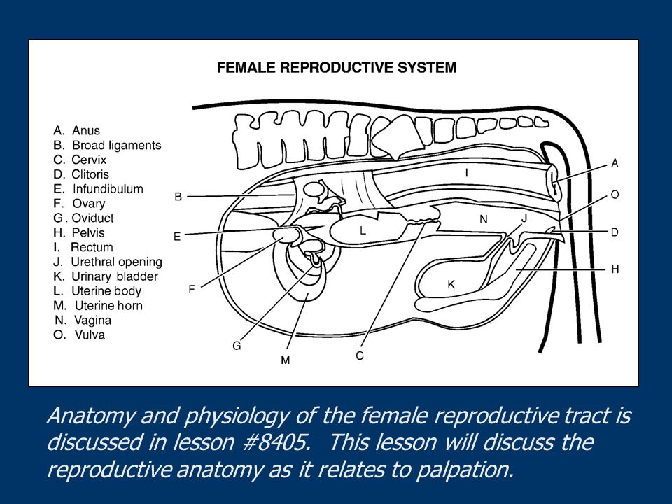 Anatomy and physiology of the female reproductive tract is discussed in lesson #8405.