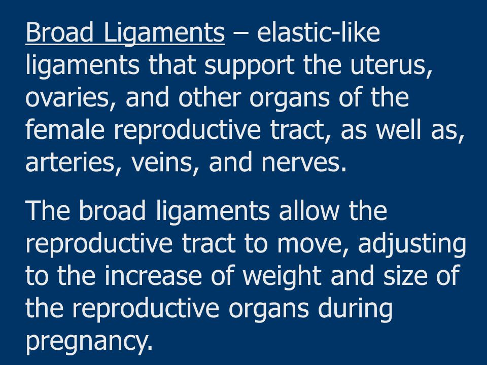 Broad Ligaments – elastic-like ligaments that support the uterus, ovaries, and other organs of the female reproductive tract, as well as, arteries, veins, and nerves.