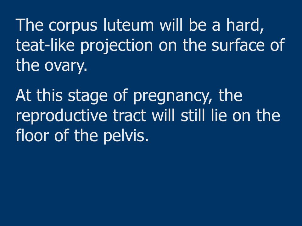 The corpus luteum will be a hard, teat-like projection on the surface of the ovary.