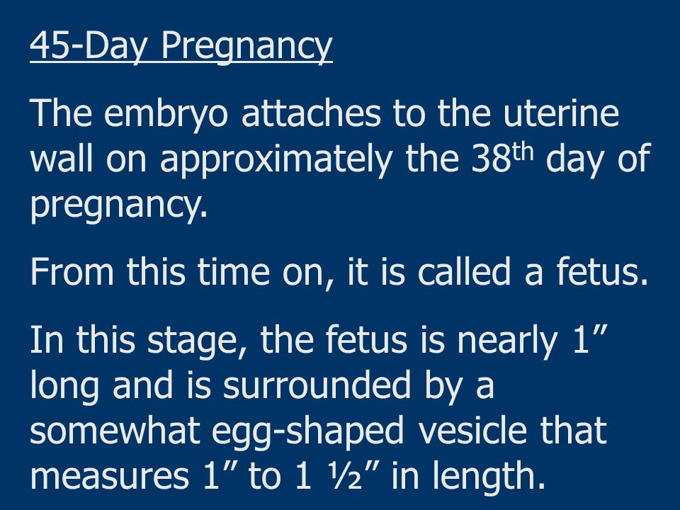 45-Day Pregnancy The embryo attaches to the uterine wall on approximately the 38th day of pregnancy.