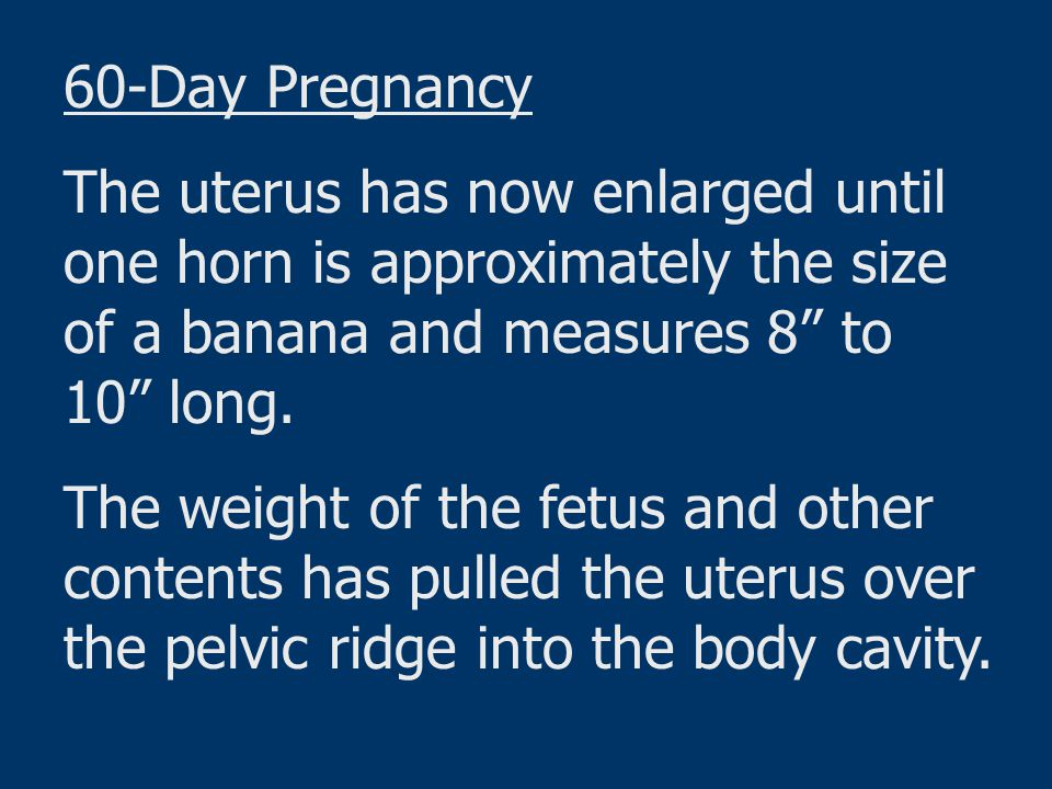 60-Day Pregnancy The uterus has now enlarged until one horn is approximately the size of a banana and measures 8 to 10 long.