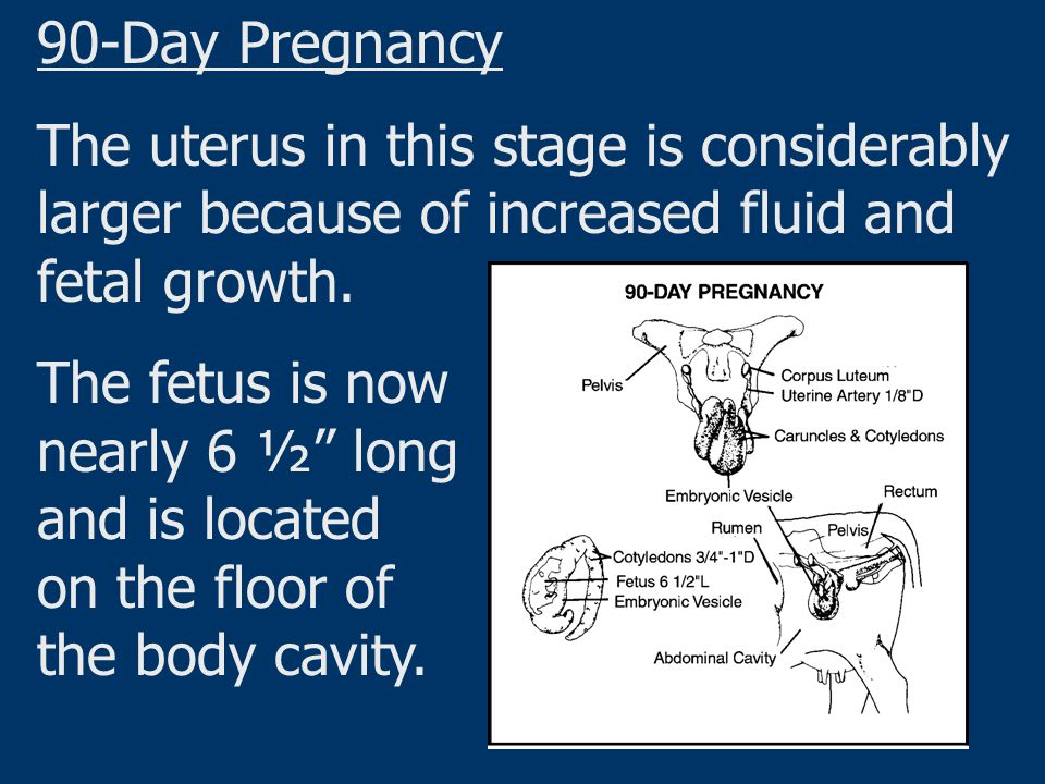 90-Day Pregnancy The uterus in this stage is considerably larger because of increased fluid and fetal growth.