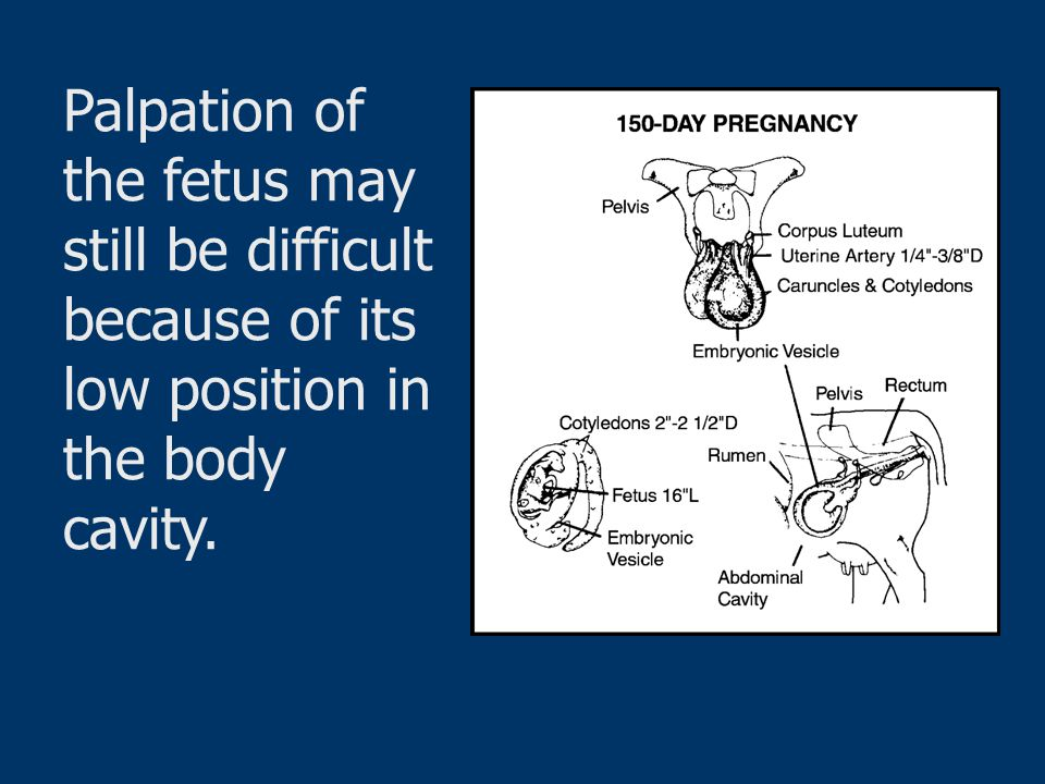 Palpation of the fetus may still be difficult because of its low position in the body cavity.