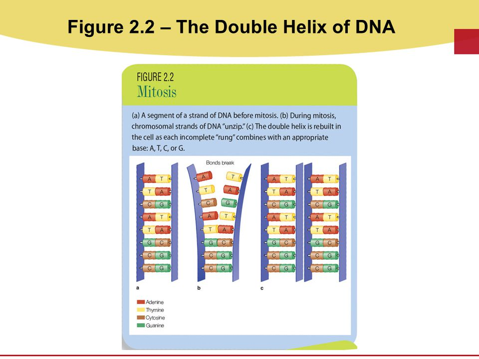 Figure 2.2 – The Double Helix of DNA