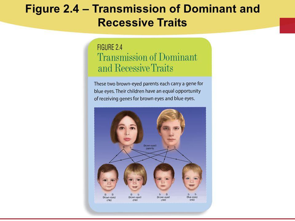 Figure 2.4 – Transmission of Dominant and Recessive Traits