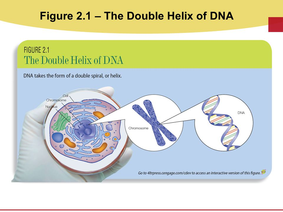 Figure 2.1 – The Double Helix of DNA