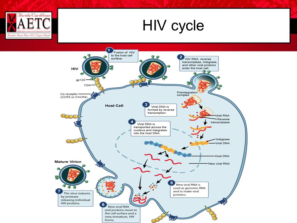HIV cycle HIV Replication Cycle Steps in the HIV Replication Cycle