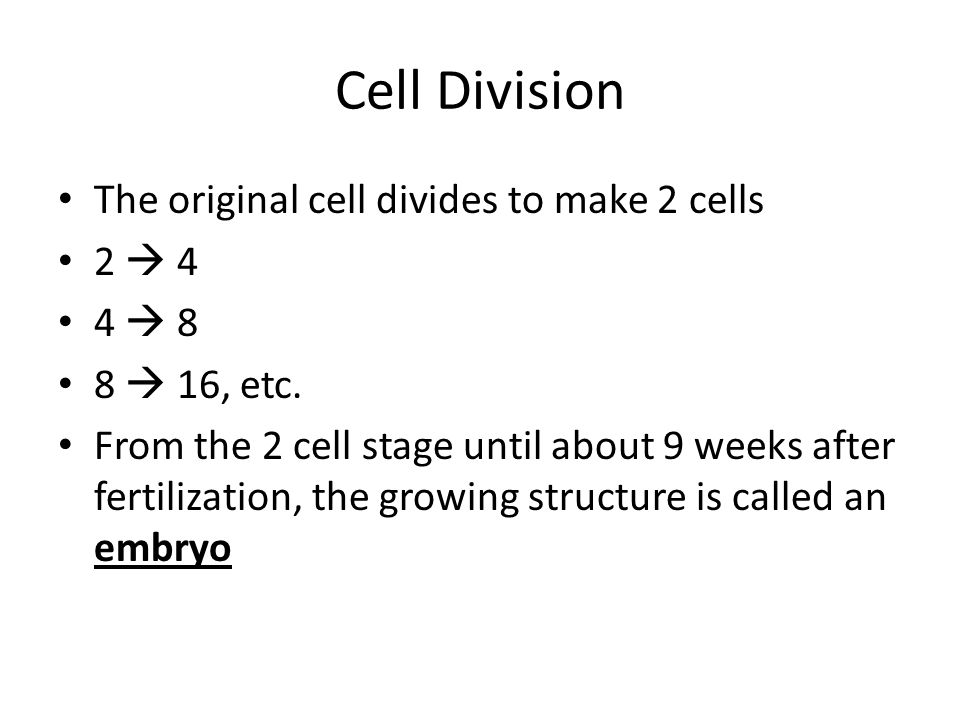 Cell Division The original cell divides to make 2 cells 2  4 4  8