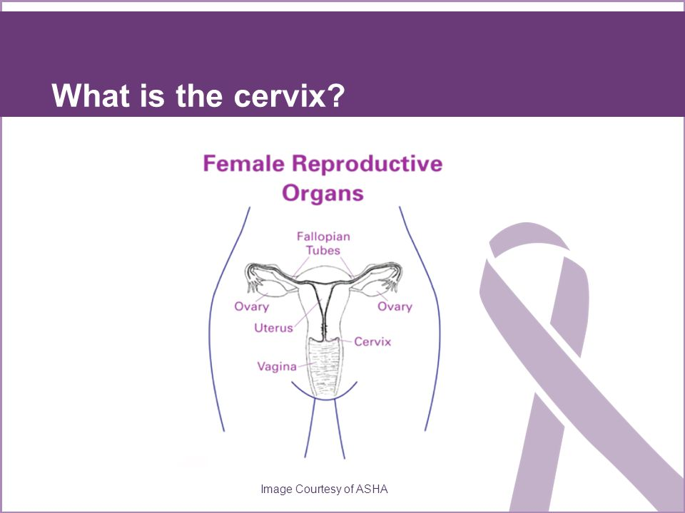 What is the cervix Image Courtesy of ASHA
