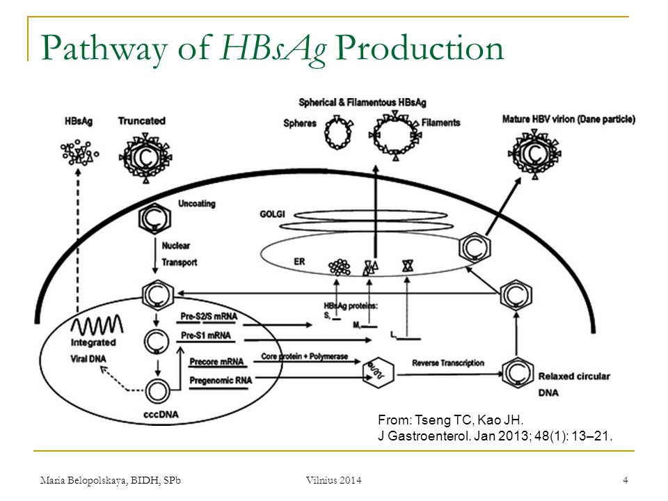 Pathway of HBsAg Production