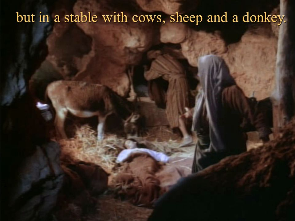 but in a stable with cows, sheep and a donkey.