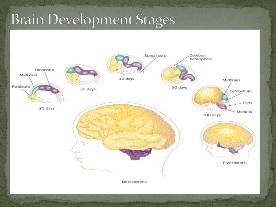 Brain Development Stages