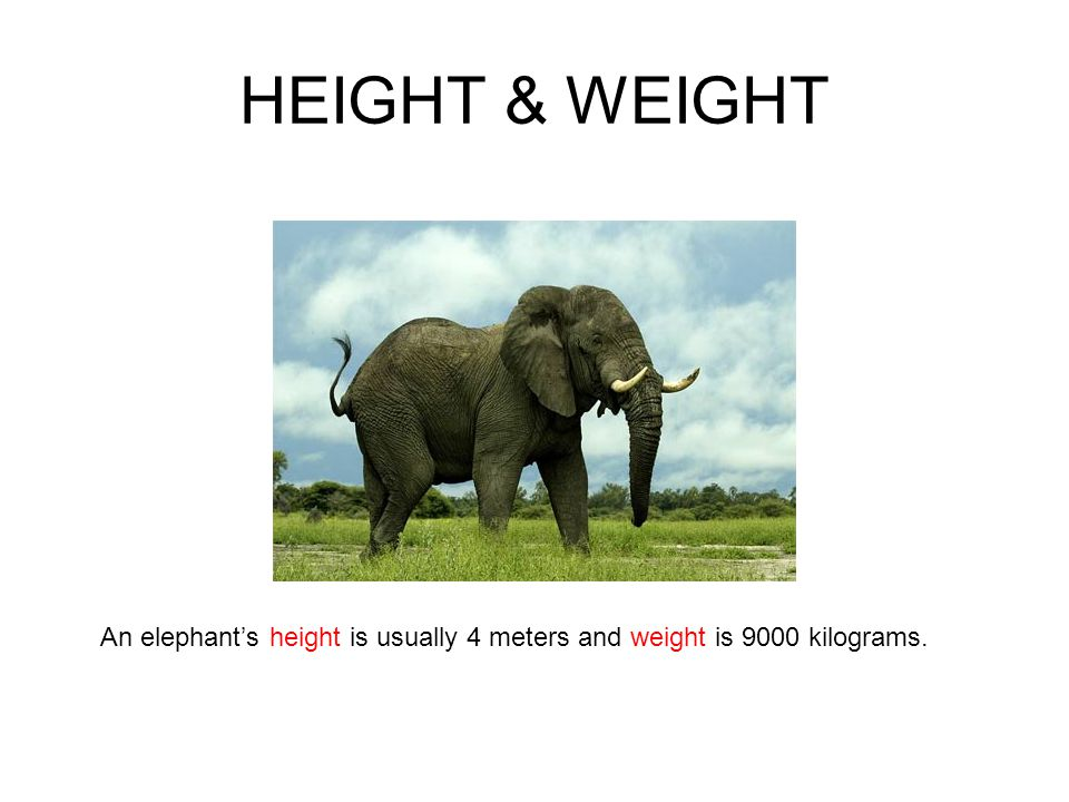 HEIGHT & WEIGHT An elephant's height is usually 4 meters and weight is 9000 kilograms.