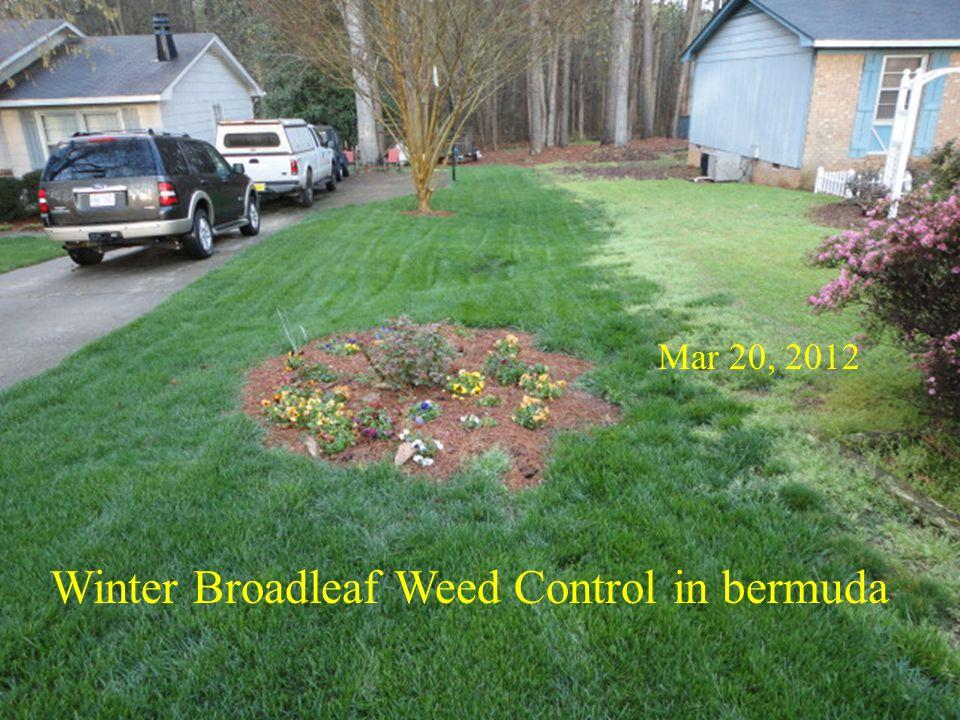 Winter Broadleaf Weed Control in bermuda
