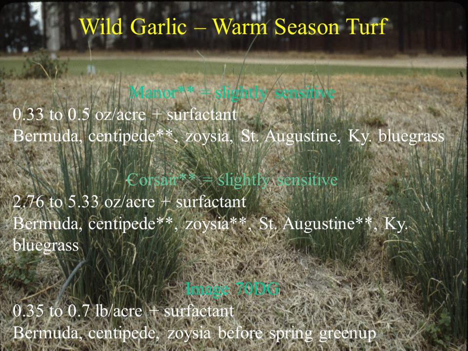 Wild Garlic – Warm Season Turf