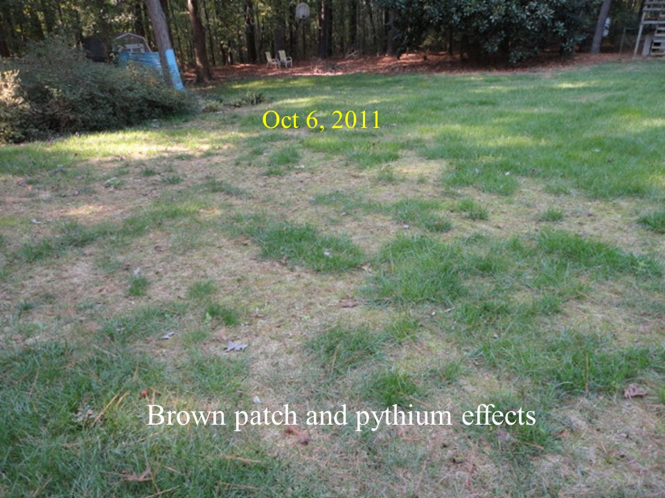 Brown patch and pythium effects