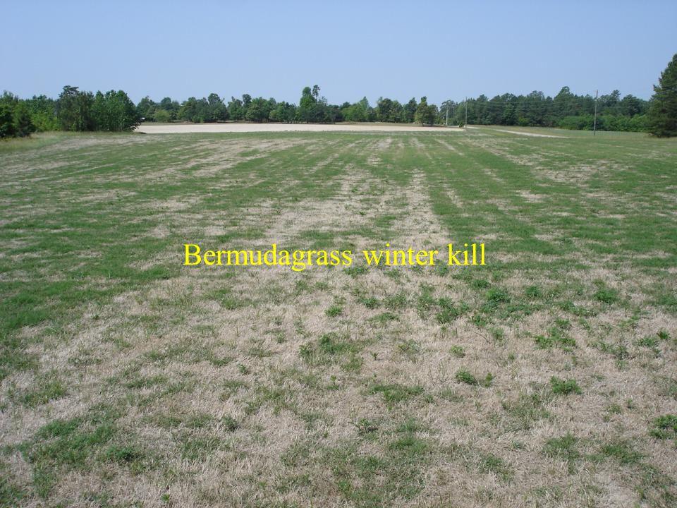 Bermudagrass winter kill