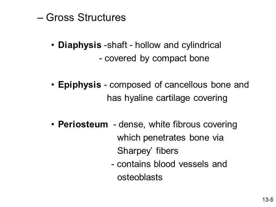 Gross Structures Diaphysis -shaft - hollow and cylindrical