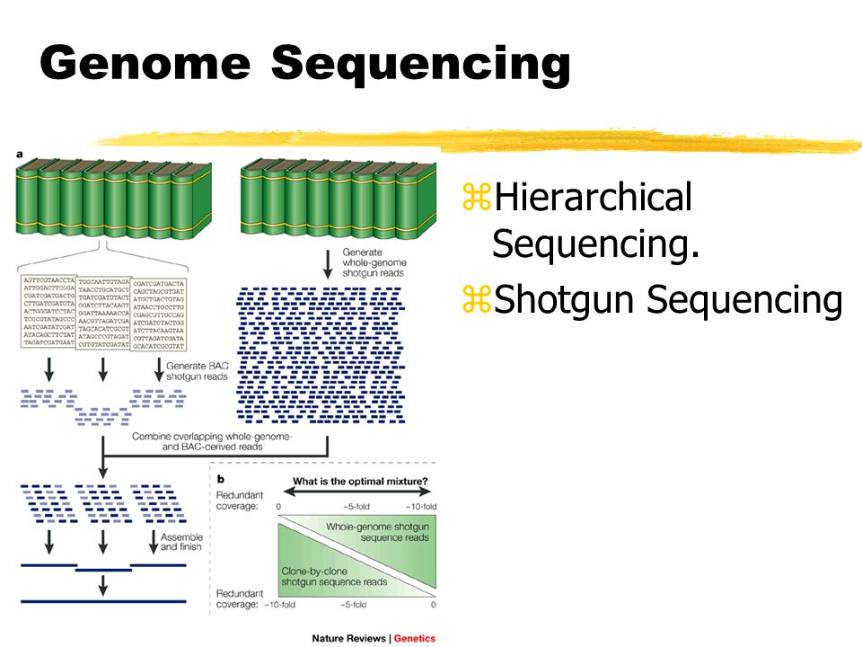 Genome Sequencing Hierarchical Sequencing. Shotgun Sequencing