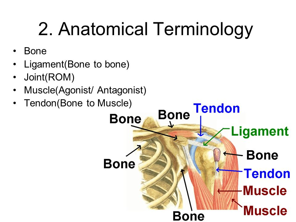 2. Anatomical Terminology