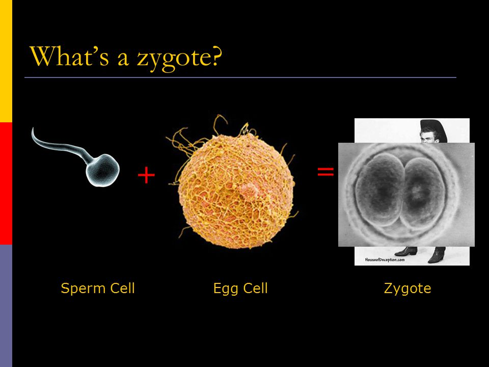 What's a zygote = + Sperm Cell Egg Cell Zygote