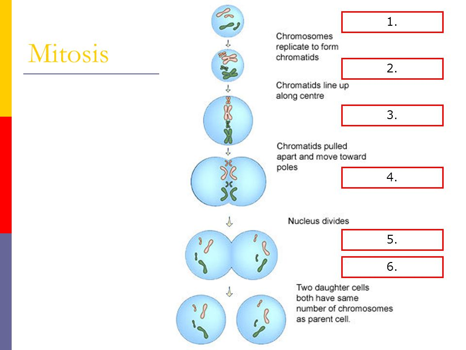 Mitosis 1. Interphase 1. 2. Prophase 2. 3. Metaphase 3. 4. Anaphase 4.
