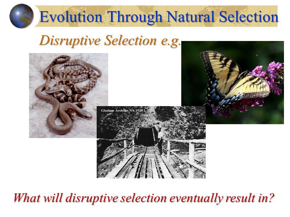 Disruptive Selection e.g.