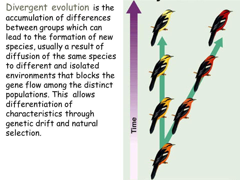 Divergent evolution is the accumulation of differences between groups which can lead to the formation of new species, usually a result of diffusion of the same species to different and isolated environments that blocks the gene flow among the distinct populations.