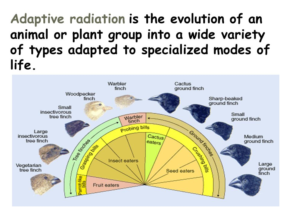 Adaptive radiation is the evolution of an animal or plant group into a wide variety of types adapted to specialized modes of life.