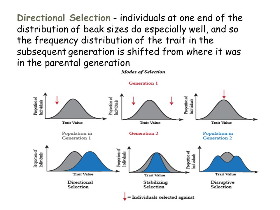 Directional Selection - individuals at one end of the distribution of beak sizes do especially well, and so the frequency distribution of the trait in the subsequent generation is shifted from where it was in the parental generation
