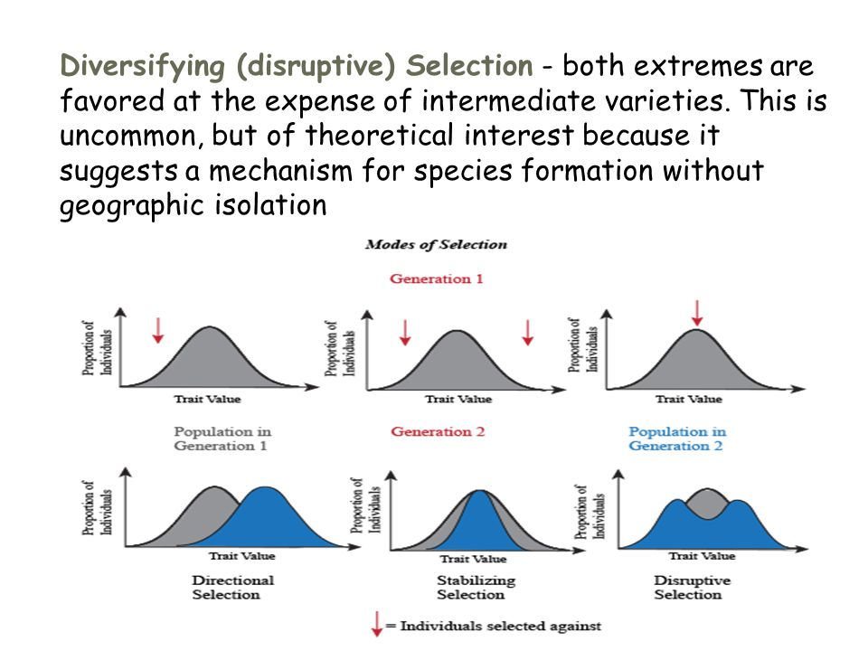 Diversifying (disruptive) Selection - both extremes are favored at the expense of intermediate varieties.