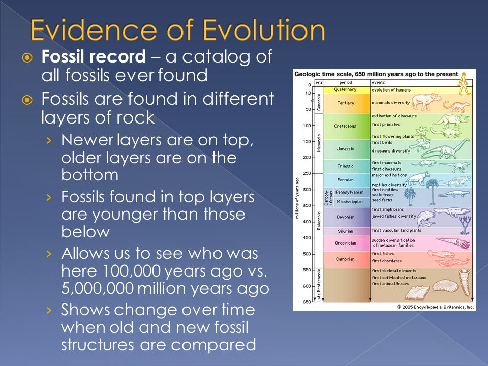 Evidence of Evolution Fossil record – a catalog of all fossils ever found. Fossils are found in different layers of rock.