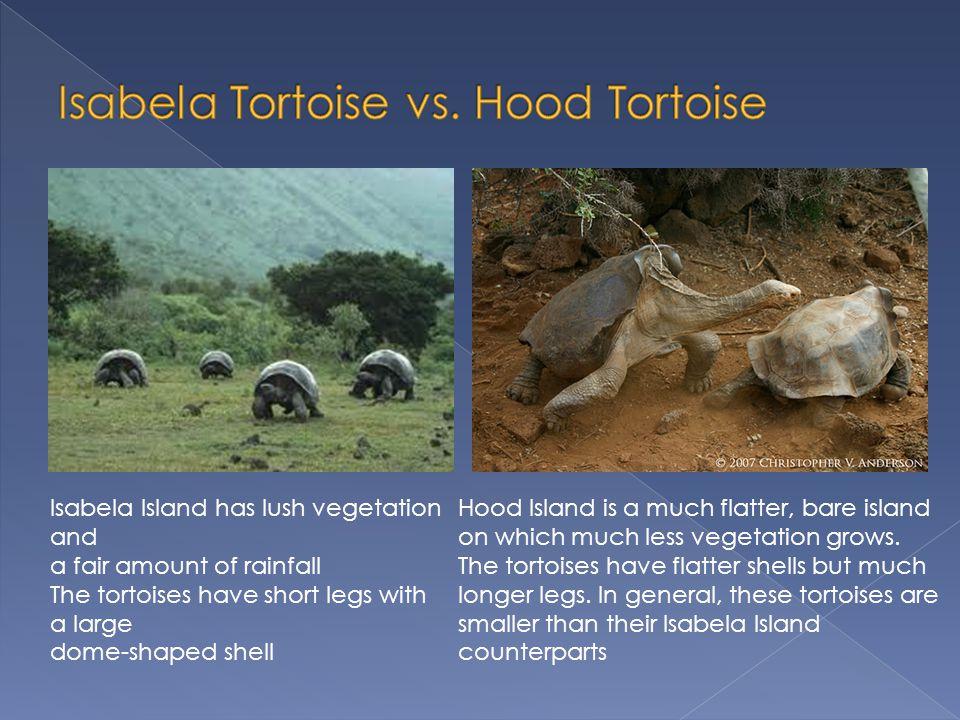 Isabela Tortoise vs. Hood Tortoise
