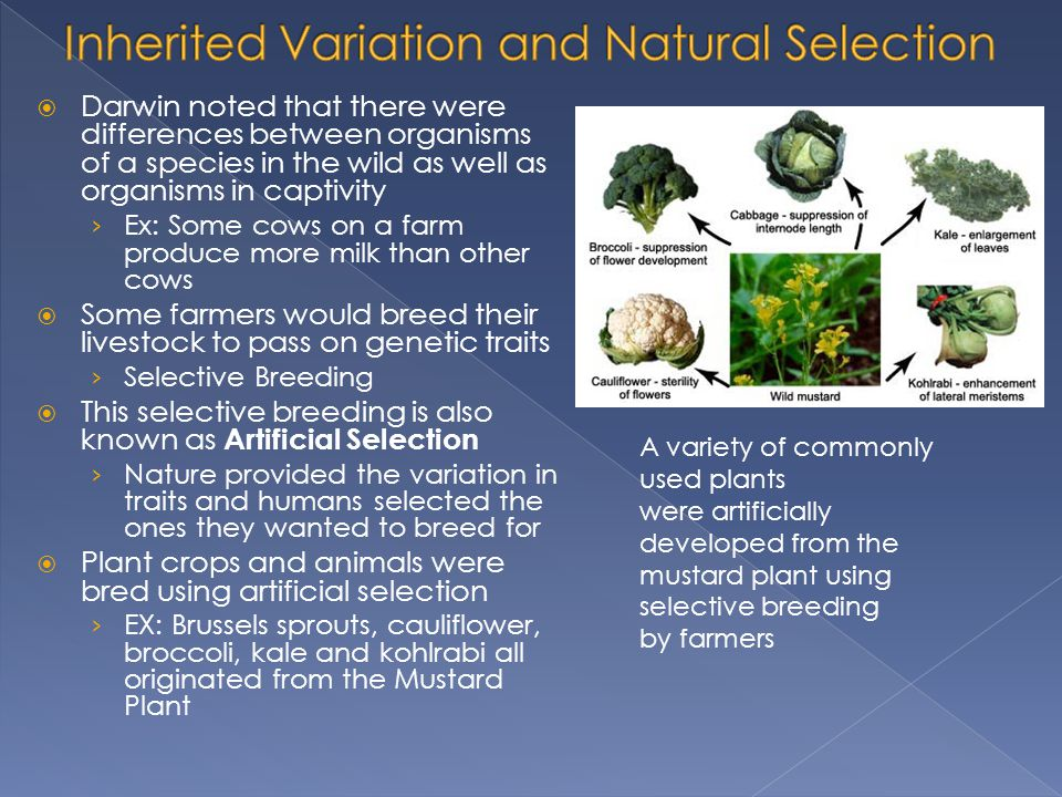 Inherited Variation and Natural Selection