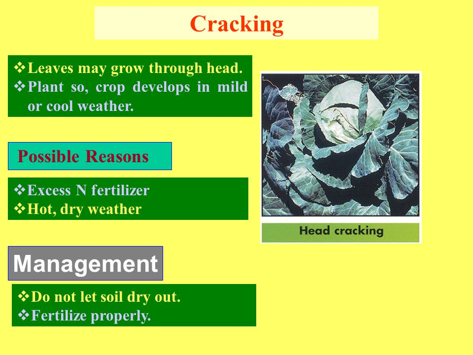 Cracking Management Possible Reasons Leaves may grow through head.