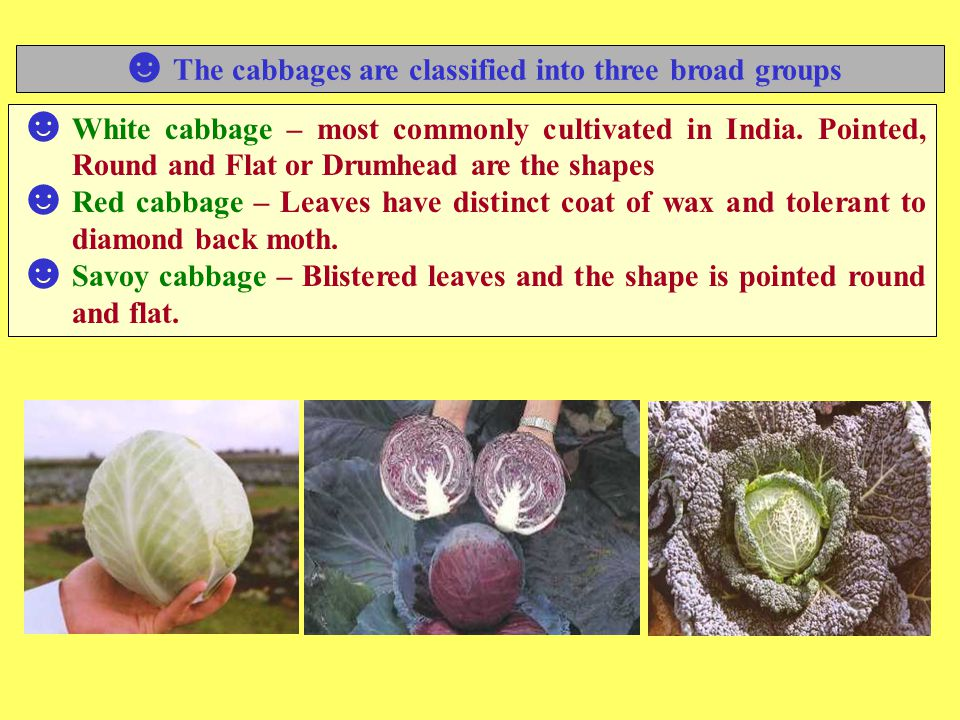 The cabbages are classified into three broad groups