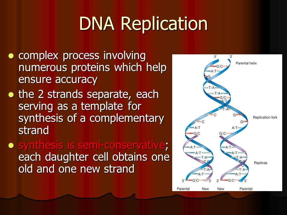 DNA Replication complex process involving numerous proteins which help ensure accuracy.